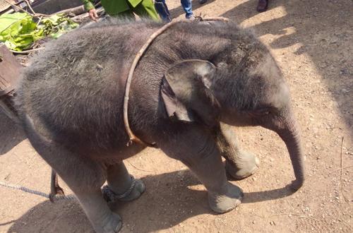 Giật mình phát hiện voi rừng 2 tháng tuổi dưới giếng sâu