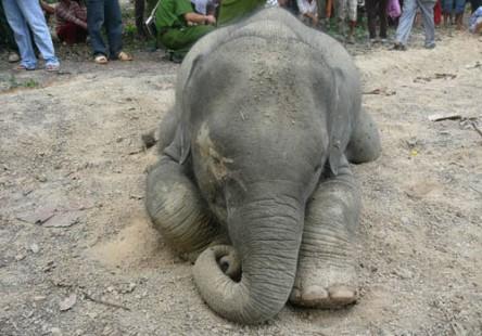 Xác voi rừng được phát hiện dưới mương, đây là con voi thứ 9 chết ở Đồng Nai