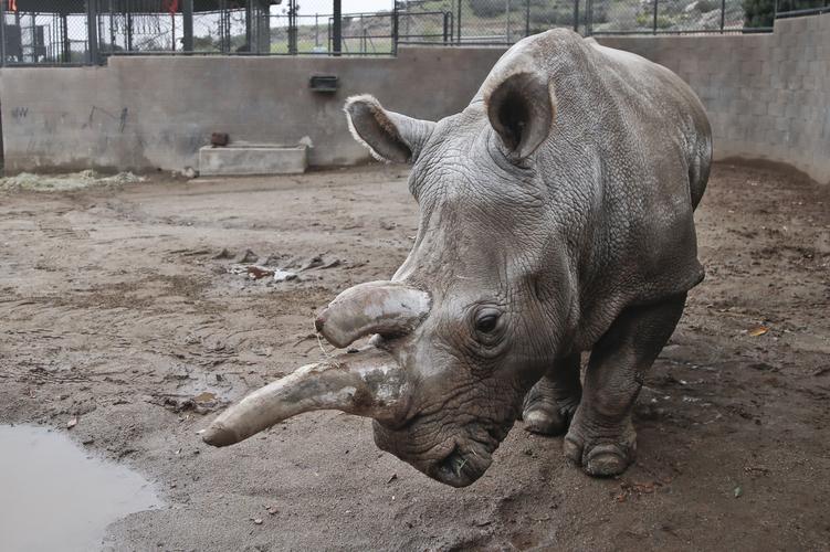 Thông tin khoa học cho biết tê giác trắng phương Bắc cần phải được bảo tồn