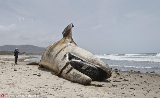 Phát hiện xác cá voi nặng 30 tấn, dài 12m nằm 'trơ' trên bờ biển Mỹ