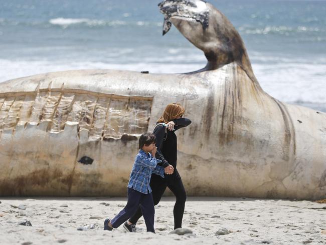 Con cá voi xám dài 12m, nặng 30 tấn nhiều khả năng chết theo quy luật tự nhiên
