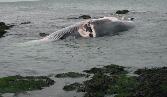 Sáng 27/5, người dân Nghệ An đã phát hiện một xác cá voi dạt vào bờ biển