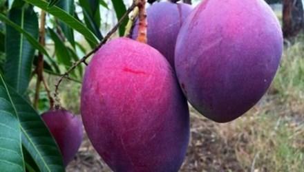 Được biết, giống cây xoài tím lạ mắt được phát minh bởi trung tâm chuyển giao công nghệ nông nghiệp Thái Lan