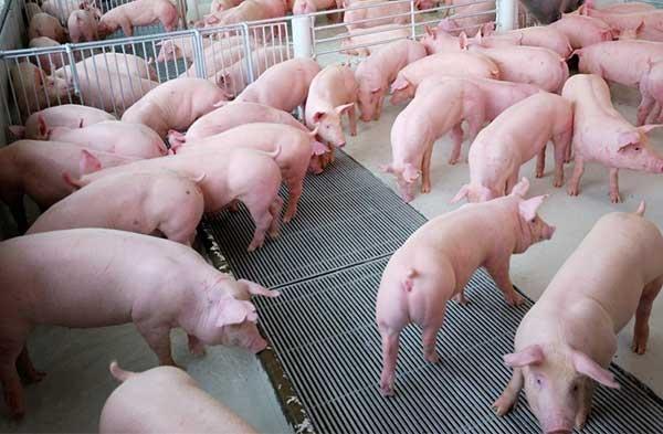 Giá cả thị trường hôm nay: Giá lợn hơi tại miền Nam có nhiều biến động