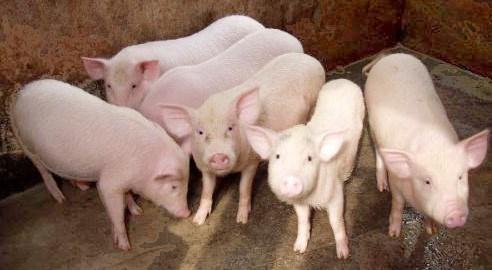 Giá cả thị trường hôm nay (3/11): Giá lợn hơi ổn định ở cả ba miền