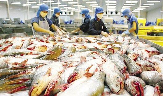 Giá cá tra thương phẩm bất ngờ tăng mạnh