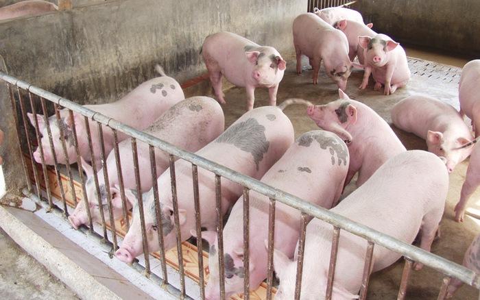 Giá cả thị trường hôm nay (21/12): Giá lợn hơi tại miền Bắc đã lên mức 34.000 đồng/kg