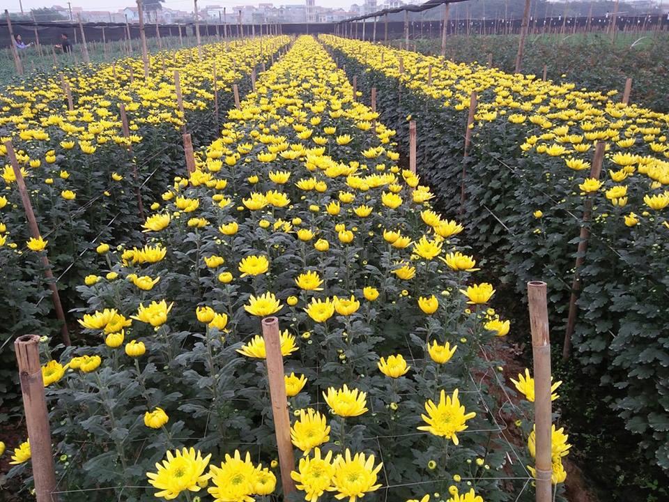 Tết Mậu Tuất: Những vườn hoa tại ngoại thành Hà Nội đã sẵn sàng để 'bung lụa'