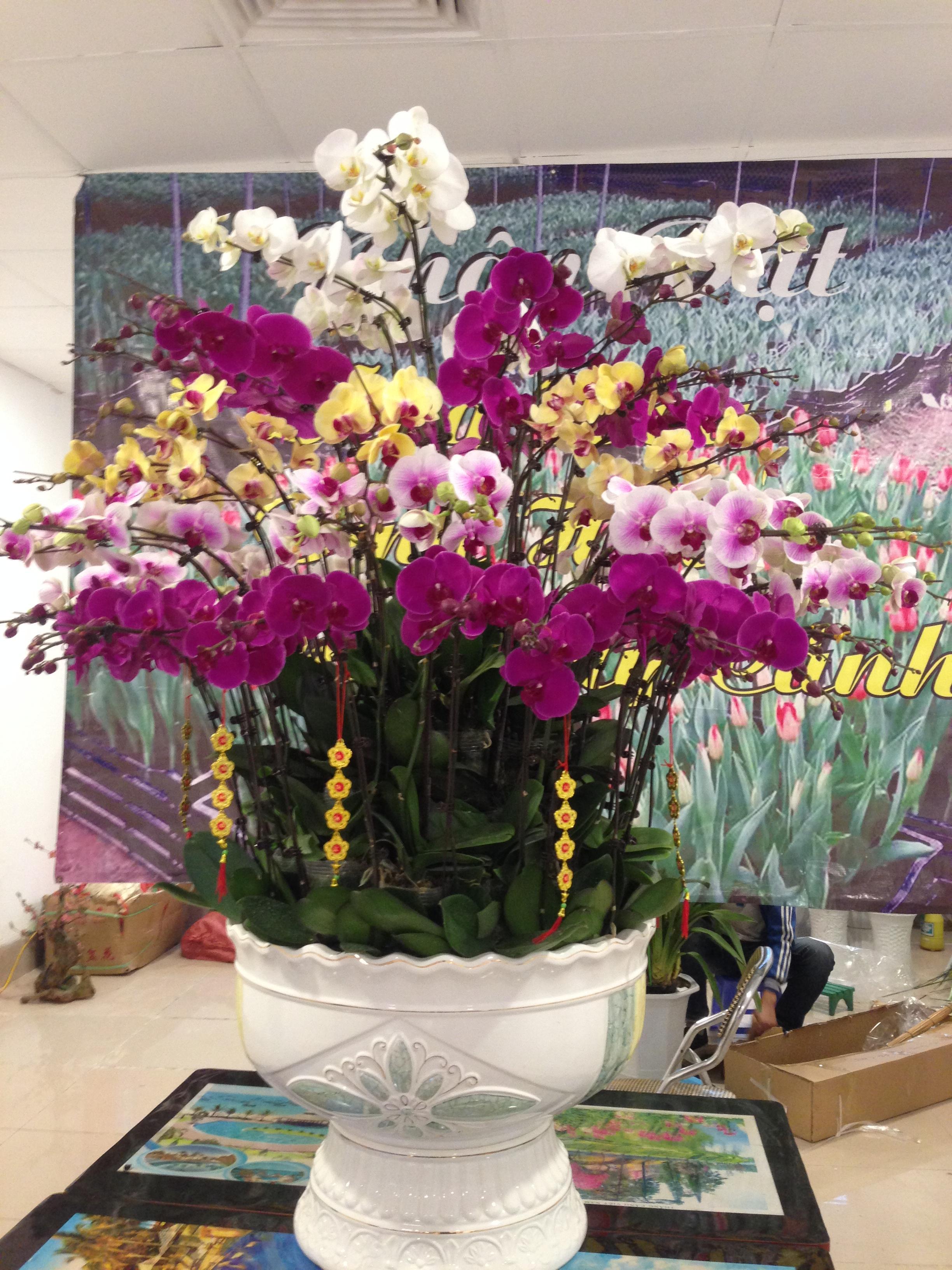 Tết Mậu Tuất: Đây là một trong những loại hoa chơi Tết có giá đắt đỏ trên thị trường