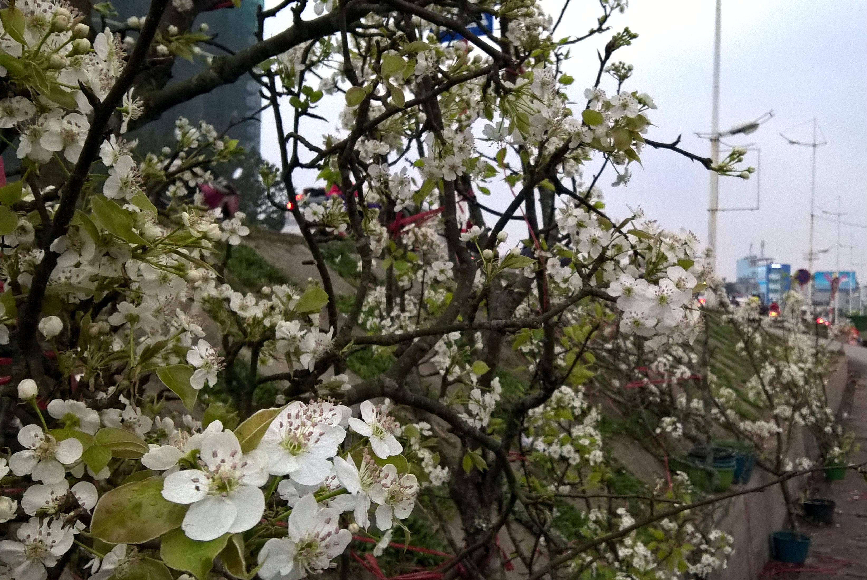 Sau Tết, hoa lê rừng trắng muốt xuống phố hút người dân sành chơi