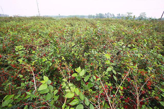 Được mùa dâu tằm, nông dân ngoại thành Hà Nội thu về cả chục triệu đồng