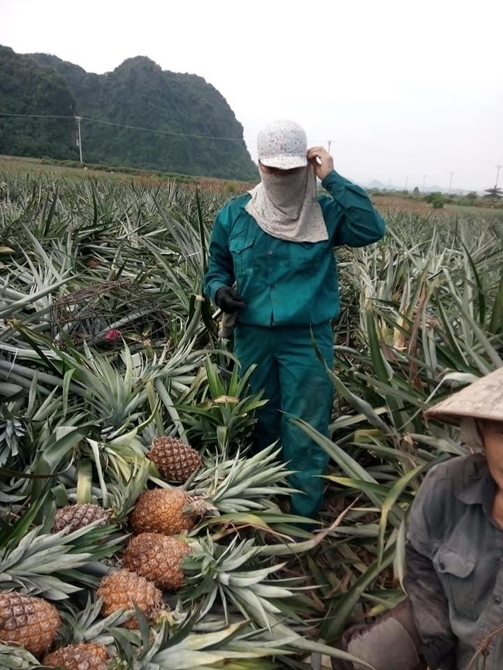 Giá dứa xuống thấp kỉ lục: Nông dân than trời, người Hà Nội đội nắng nóng giải cứu