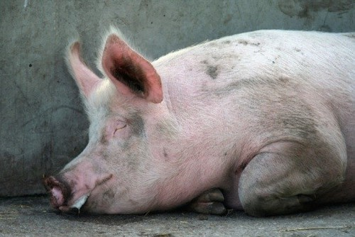 Ngăn chặn dịch tả lợn châu Phi: Hải quan dừng thông quan thịt lợn