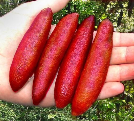 Được mệnh danh là 'trứng cá caviar', chanh ngón tay hương vị lạ có giá gần 4 triệu đồng/kg