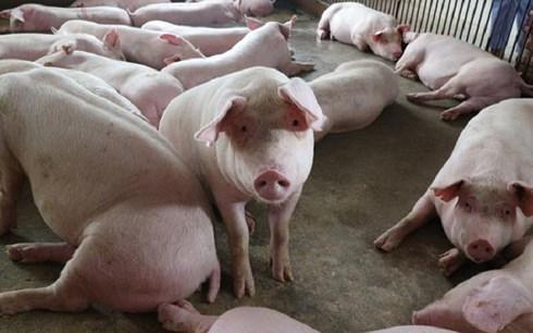 Giá thịt lợn tăng nhẹ sau khi dịch được kiểm soát