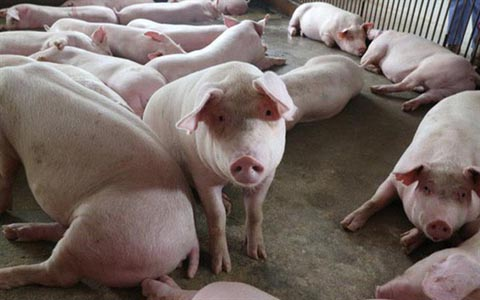 Giá lợn hơi tăng mạnh trên cả nước