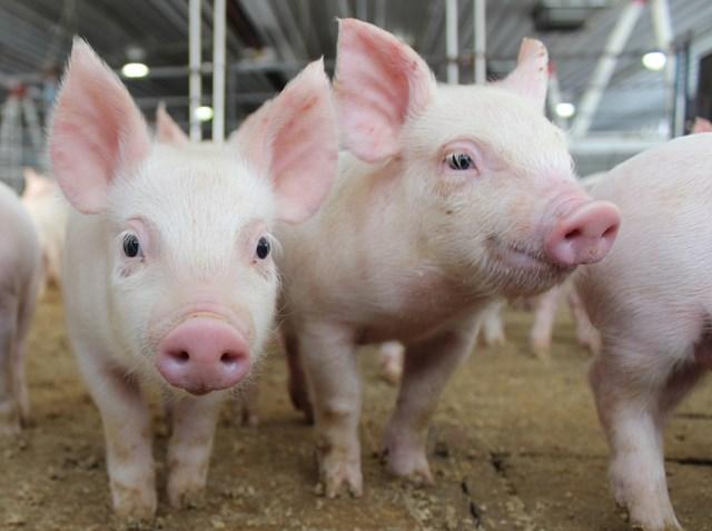 Giá lợn hơi tăng, nguy cơ Tết thiếu thịt?