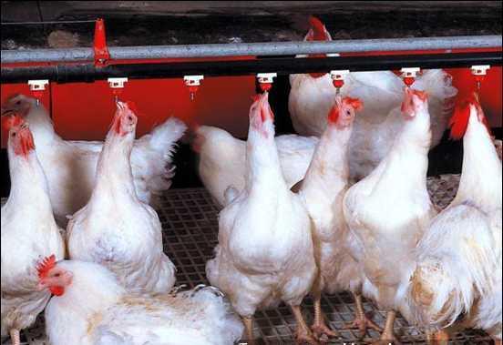 Giá thịt gà trong nước chạm đáy: Chuyên gia đã cảnh báo từ trước