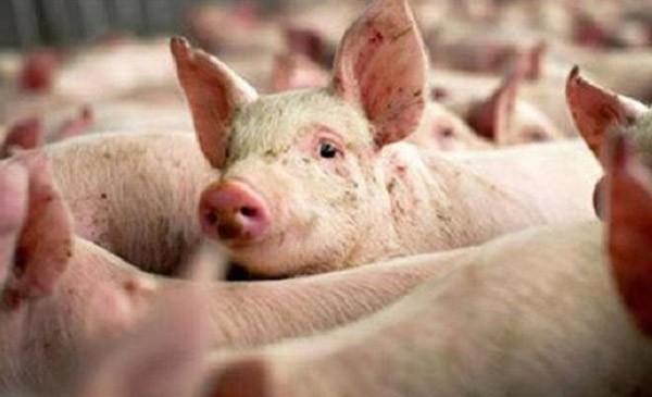 Giá lợn hơi tiếp tục tăng cao