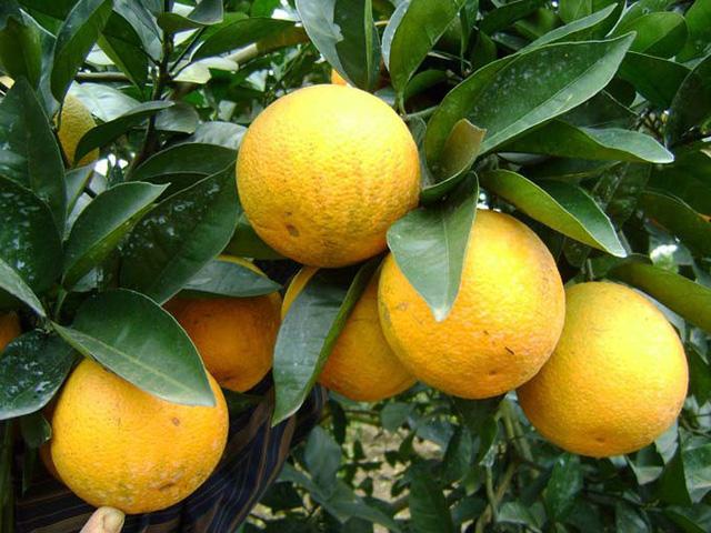 Mở rộng khu vực địa lý trồng cam 'Vinh'