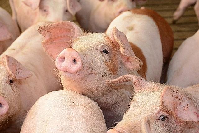 Giá lợn hơi vẫn ở mức cao 95.000 đồng một kg