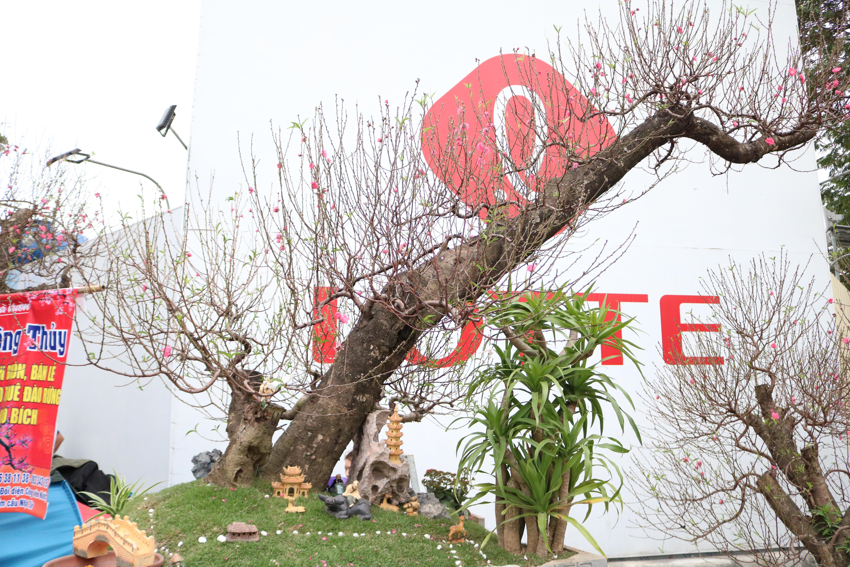 Ngắm đào bonsai cổ thụ giá tiền triệu phục vụ người dân Hà Nội đón Tết