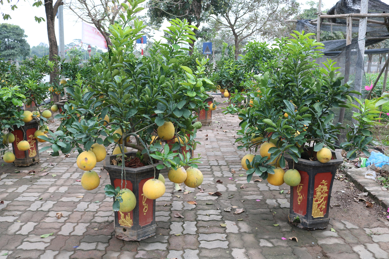 Ngắm bưởi bonsai giá tiền triệu hút khách thủ đô trưng Tết