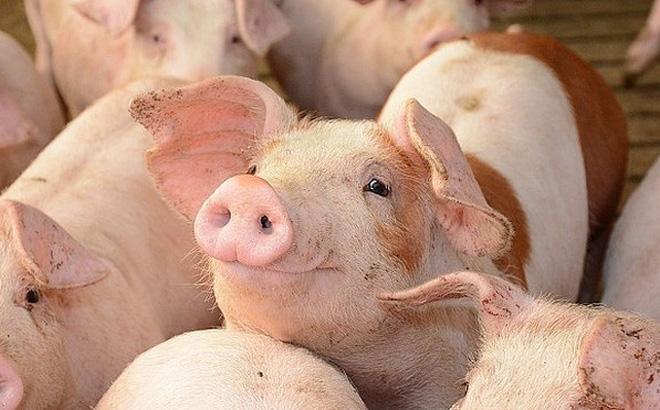 Giá thịt lợn đến bao giờ mới giảm?