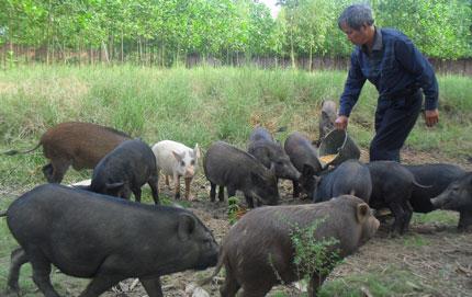 Chăn nuôi lợn dân dã là một ý tưởng kinh doanh mang lại lợi nhuận cao ở nông thôn
