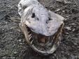 Xác sinh vật lạ đầu khủng long, đuôi cá dạt vào bờ hồ Anh