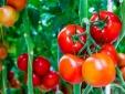 7 công dụng chữa bệnh hiệu quả từ cà chua