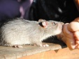 Bàng hoàng bé sơ sinh bị chuột cắn tử vong ngay trong bệnh viện