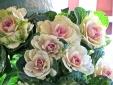 Phát sốt với bắp cải hình hoa nhiều màu sắc đẹp lạ thường