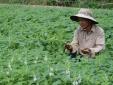 Kỹ thuật trồng mè đen đơn giản, cho năng suất không tưởng