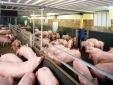 Tp. HCM: Mặc lệnh cấm, trại nuôi heo vẫn sử dụng chất tạo nạc