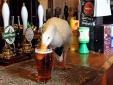 Lạ lùng vịt 'say khướt' đánh nhau với chó trong quán bar
