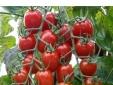 Kỹ thuật trồng cà chua cherry quả đỏ lựng, sai trĩu cành