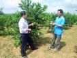 Quảng Ninh: 'Làm giàu không khó' từ chanh đào