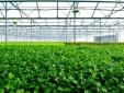 Công nghệ màng mỏng dinh dưỡng hứa hẹn tạo nên năng suất cao cho VinEco