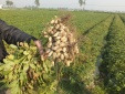 Chế phẩm vi khuẩn nốt sần giúp tăng năng suất cho cây đậu phụng