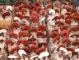 Công nghệ cao sản xuất nấm linh chi đem lại năng suất chất lượng tốt
