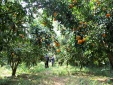 Ứng dụng khoa học vào phát triển cây ăn quả ở Lạng Sơn