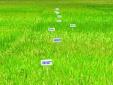 Chọn tạo giống lúa chất lượng cao bằng kỹ thuật điện di Protein SDS-Page