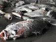 Vụ cá chết bất thường: Sẽ thuê tư vấn nước ngoài cho khách quan, độc lập