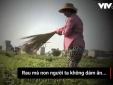 Clip cận cảnh: Nông dân dùng chổi quét cho rau rách như sâu ăn để... dễ bán