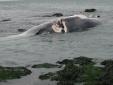 Lại phát hiện xác cá voi nặng 7 tấn, dài 10m dạt vào bờ biển Nghệ An