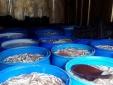 Bắt giữ cá thối số lượng 'khủng' đang trên đường đi tiêu thụ