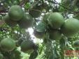 Sửng sốt cây bưởi 300 quả nổi tiếng ở Nghệ An