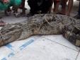 Đồng Anh: Bắt được cá sấu nặng gần 100kg, dài 3m
