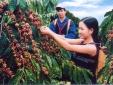 Mách bà con nông dân kỹ thuật trồng cây cà phê đạt năng suất cao nhất